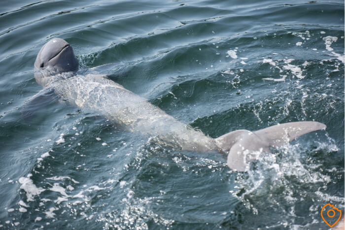 Irrawaddy dolphins in the Meykong